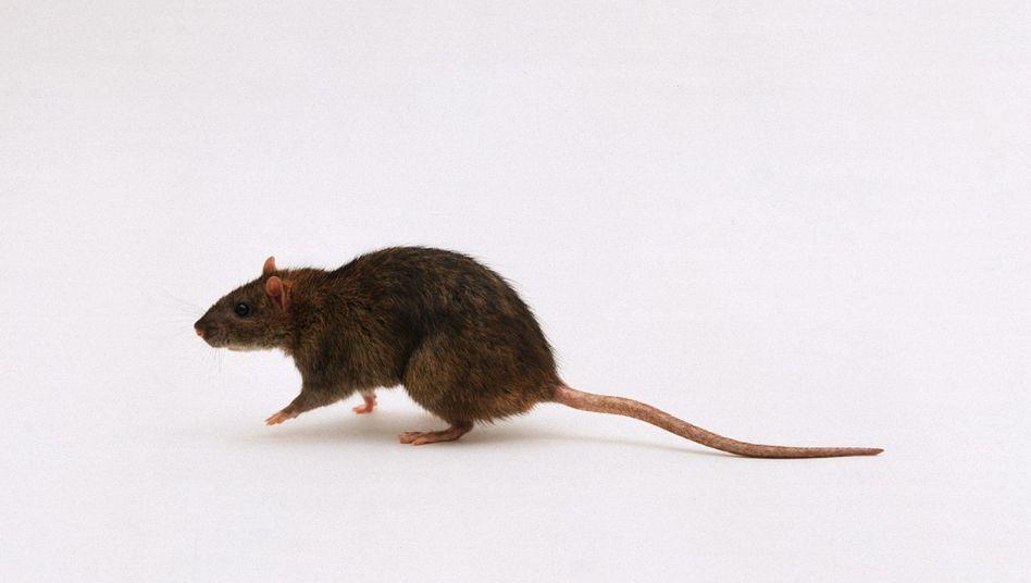 Ratte: Stressanfälligkeit von Erfahrungen der Urgroßmutter beeinflusst