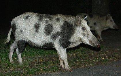 Berlin-area boar claims its first human victim.