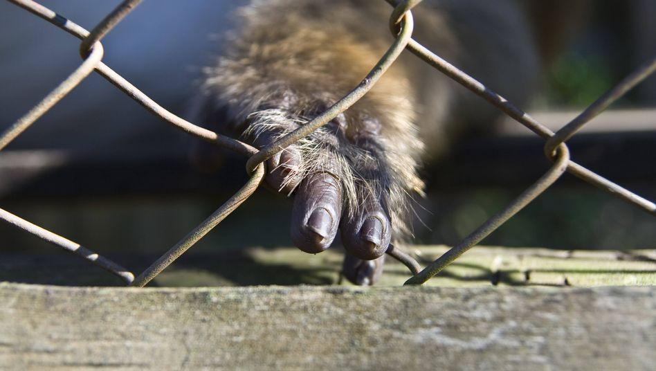 Affe auf einem Markt in Thailand: Drei Viertel der seit den Dreißigerjahren neu aufgetretenen Krankheiten stammen aus dem Tierreich