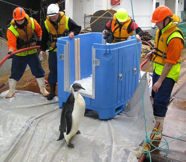 """Verirrter Pinguin: Von """"Happy Feet"""" fehlt jede Spur"""