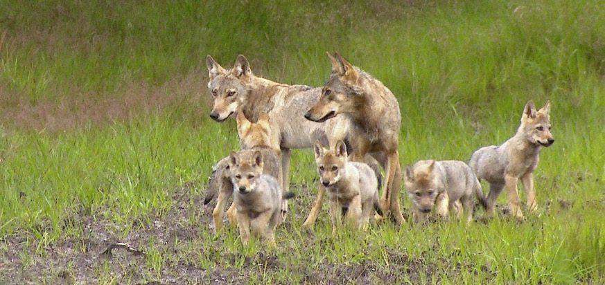 Wolfsrudel in Munster