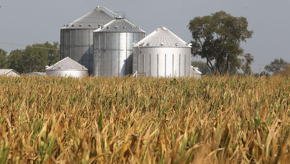 Von der Trockenheit bedroht: Kornfeld in der Nähe der Stadt Vincennes, Indiana.