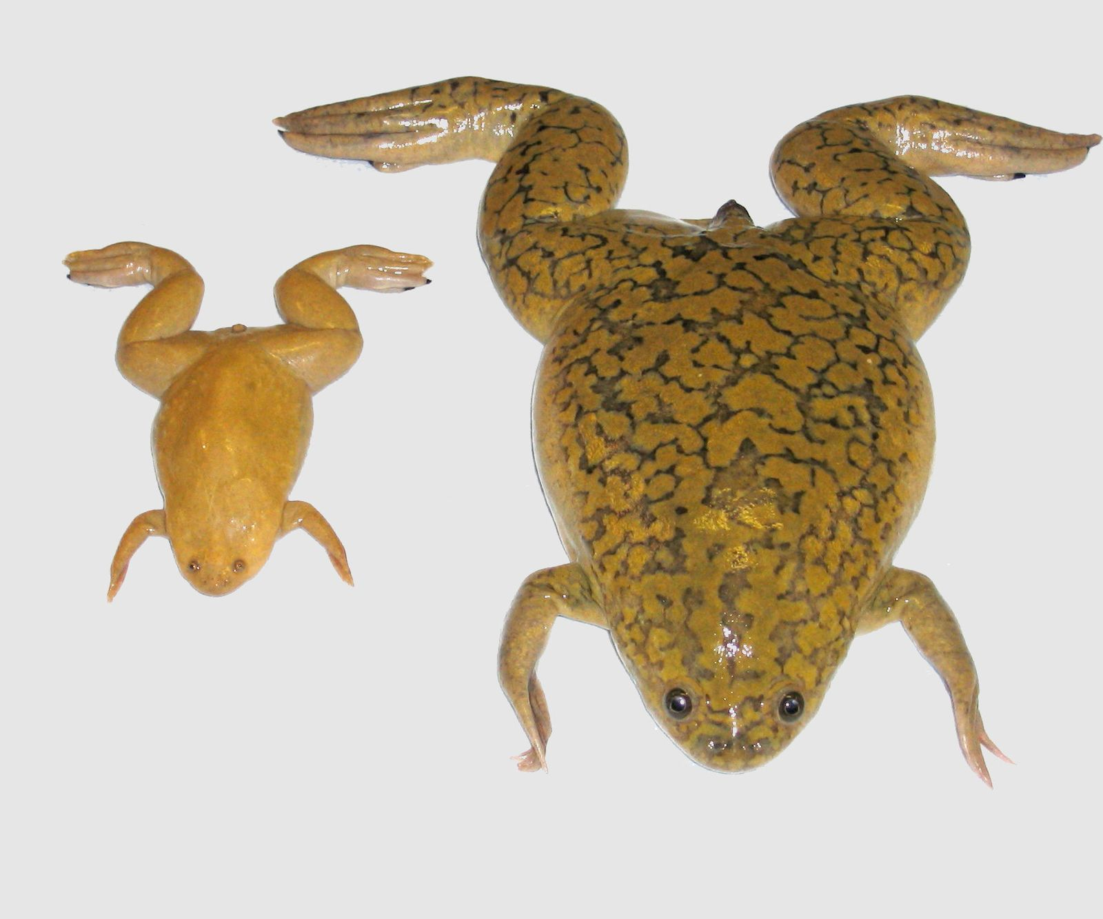 Frosch/Genom