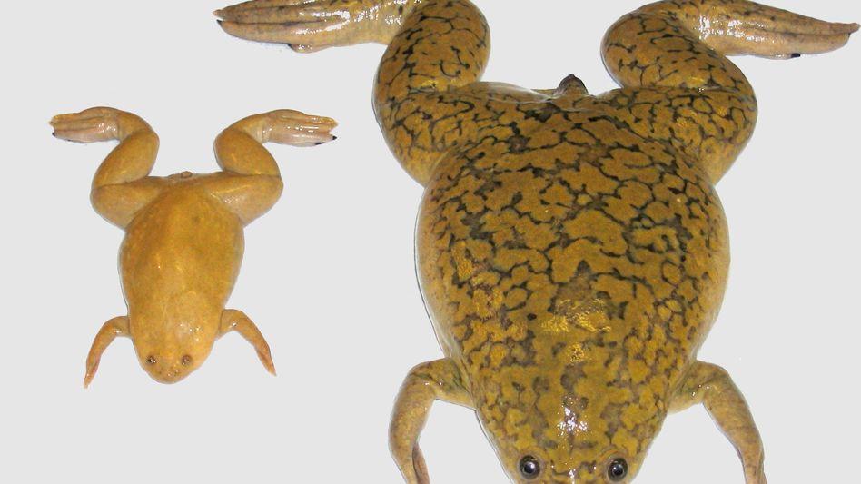 """Krallenfrösche Xenopus tropicalis (l.) und laevis (r.): """"Wir waren sehr erstaunt"""""""