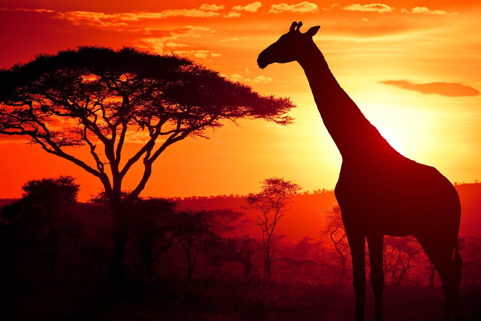 EINMALIGE VERWENDUNG Giraffe/ Afrika/ Savanne SYMBOLFOTO
