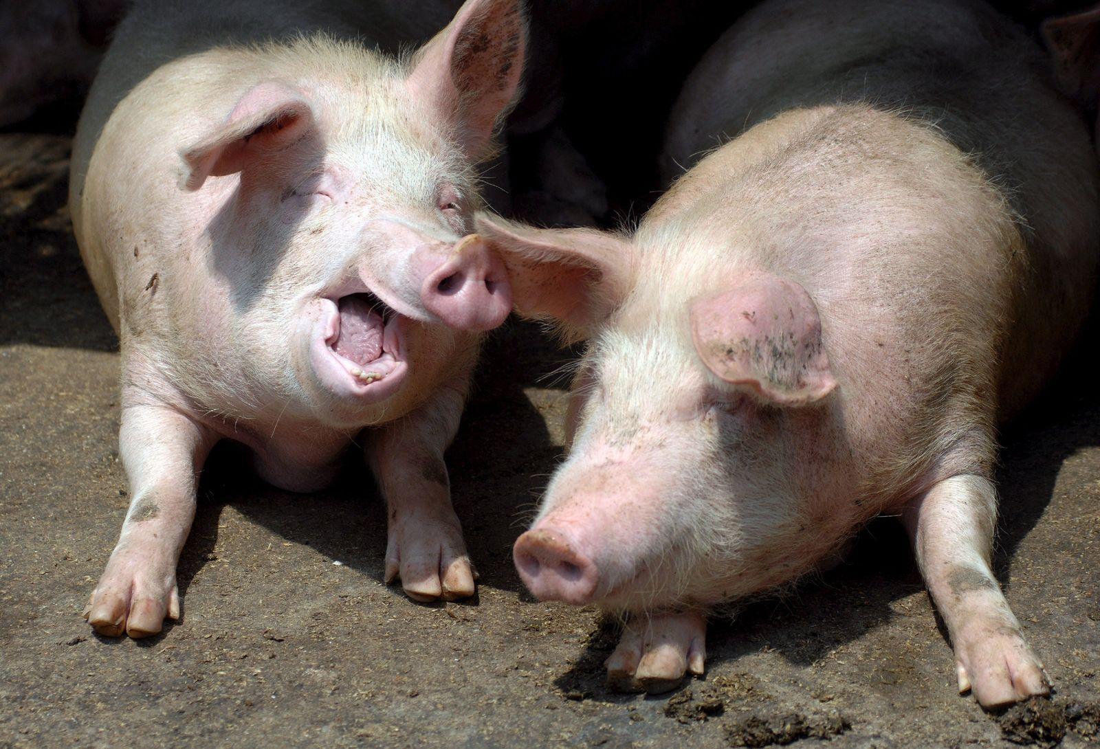 Schweinegrippe - Schweinefarm in Qingdao