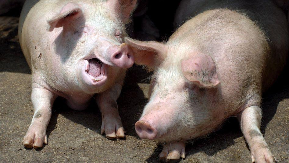 Zwei Schweine, hier allerdings ohne Computer