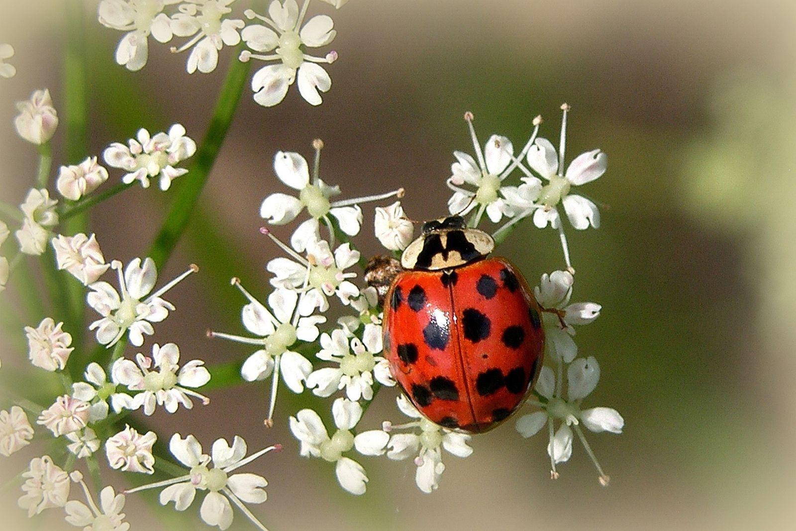 EINMALIGE VERWENDUNG Klimawandel/ Harlequin Ladybird/ Harmonia axyridis