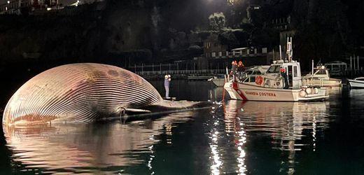 Italien: Riesiger Wal-Kadaver im Golf von Neapel entdeckt