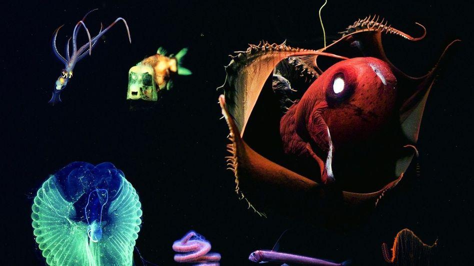 1 Kalmar Chiroteuthis (mit Tentakelarmen bis 130 cm)2 Gespensterfisch (bis 10 cm) 3 Manteltier Bathochordaeus (Gehäuse bis 100 cm)4 Perlenketten-Qualle (bis 300 cm)5 Pazifischer Viperfisch (bis 25 cm)6 Tiefseevampir (bis 30 cm)7 Staatsqualle Marrus (bis 200 cm)