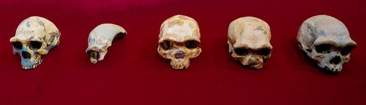 Dieses Bild zeigt Vergleiche zwischen Peking-Mensch-, Maba-, Jinniushan-, Dali- und Harbin-Schädeln