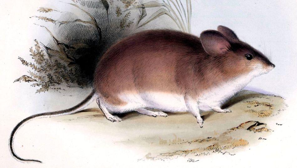Blattohrmaus: Die südamerikanischen Nagetiere halten große Höhen aus - und sind jetzt Rekordhalter unter den Säugetieren