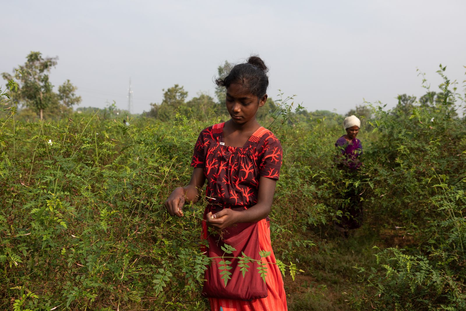 13th Jan 2021, Thalavedu village, Tiruttani Thaluk,Thiruvallur district in Tamil Nadu, India. Mythali, 13, helps out her father Sukumar at his farm in the mornings before school. But due to covid 19, schools have been shut and they do not have online classes either. So now they tend to work for longer hours usually 6 am to 11 am. Small farmer families often need the extra pair of hands and mobilise their own children to save on costs. Farmers who apply pesticides do so with little or no protective clothing. They spray toxic chemicals wearing only a traditional wraparound (lungi). This lack of adequate protection extends to children, who aside from plucking flowers, reported sometimes preparing/ mixing pesticides and mixing pesticides with their bare hands. Some of the symtoms expericenced by the children and their parents due to the pesticides were dizziness, headache, skin rashes, fatigue, and breathing problems. Photographer: Samyukta Lakshmi.