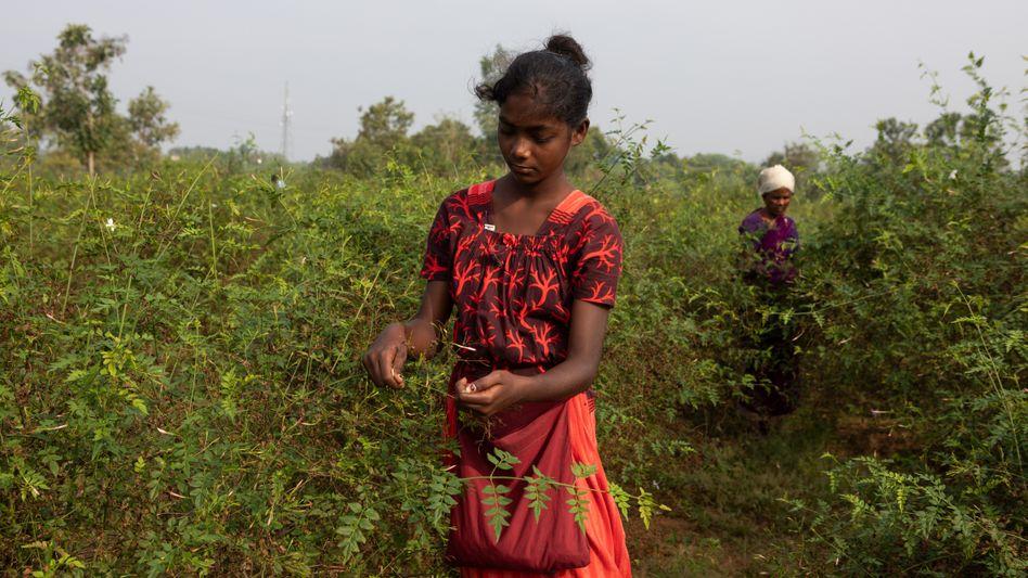 Die 13-jährige Mythali aus Tamil Nadu in Indien hilft vor der Schule ihrem Vater auf dem Feld beim Blumenpflücken