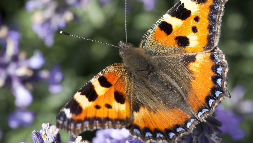 Schmetterlingsbestände im Sinkflug: Farbige Wiesenwunder
