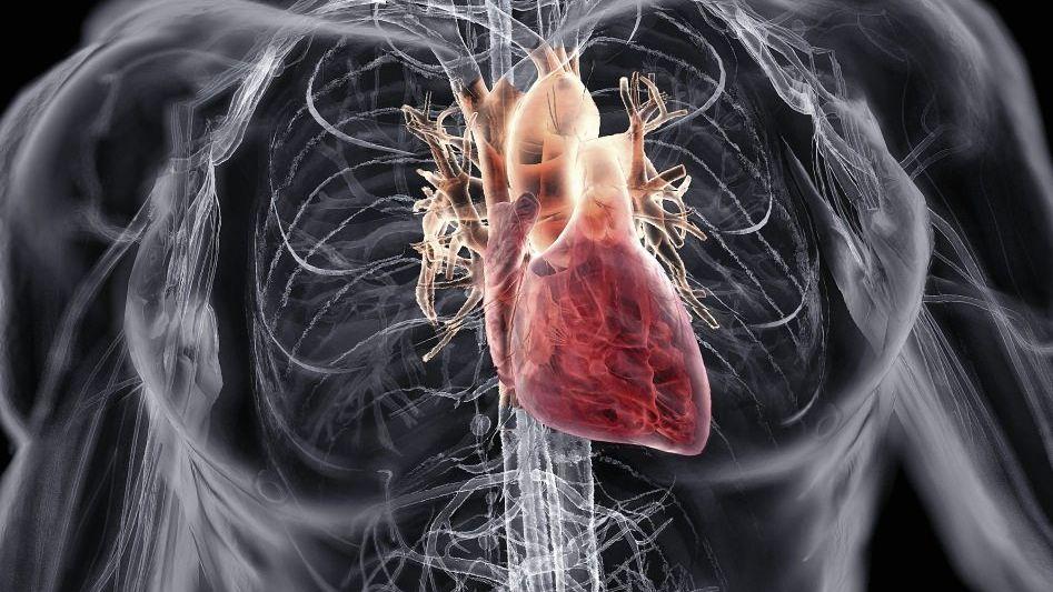 Forschungsobjekt Herz (Computersimulation)