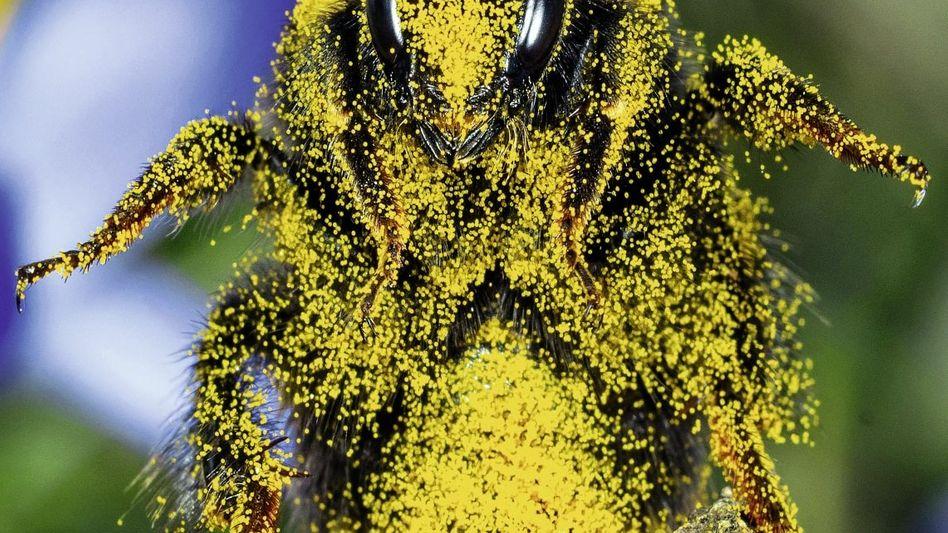 Biene mit Blütenpollen