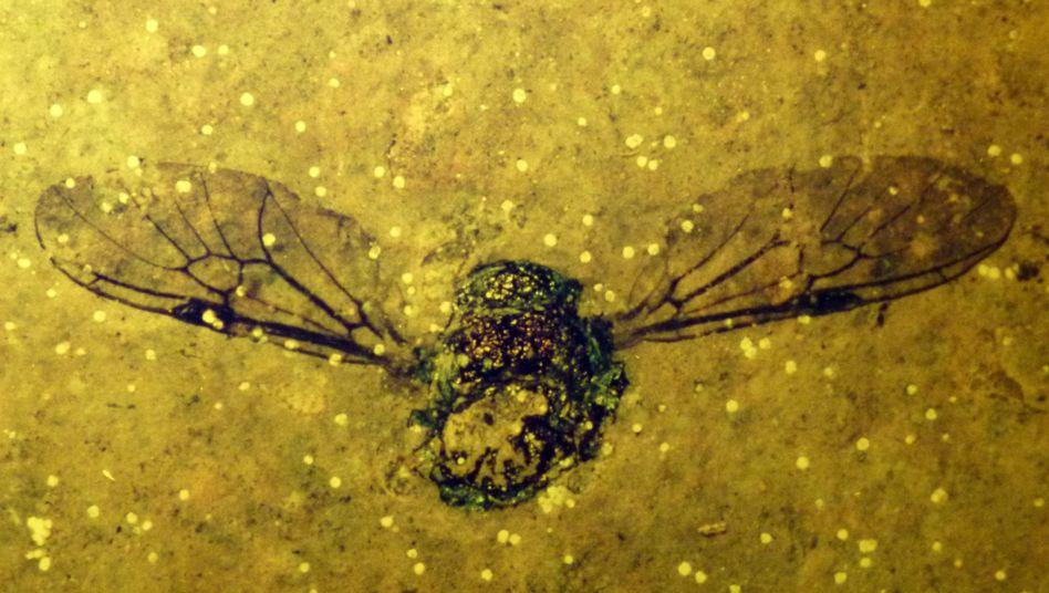 Fossil eines farbenprächtigen Käfers aus der Grube Messel: Kann man wirklich wissen, wie alt es ist?