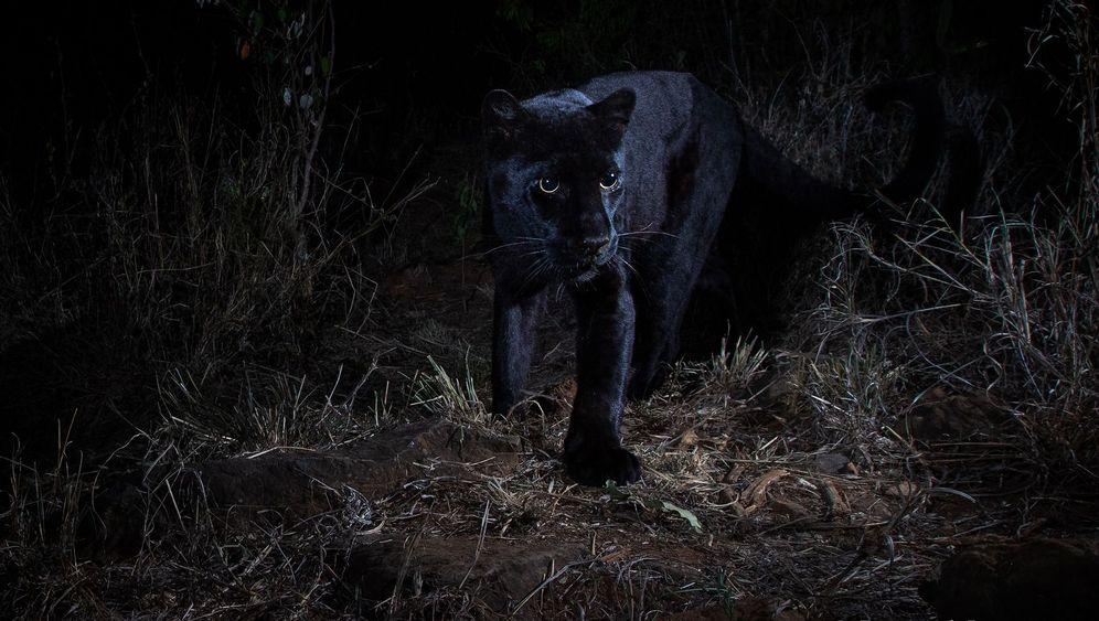Schwarzer Leopard: Erwischt