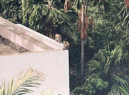 Allerhand Getier: Eine Affenfamilie auf dem Dach eines Wohnheims in Madras