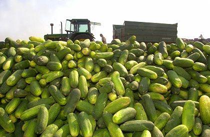 Regulation first-class unbent European cucumbers.