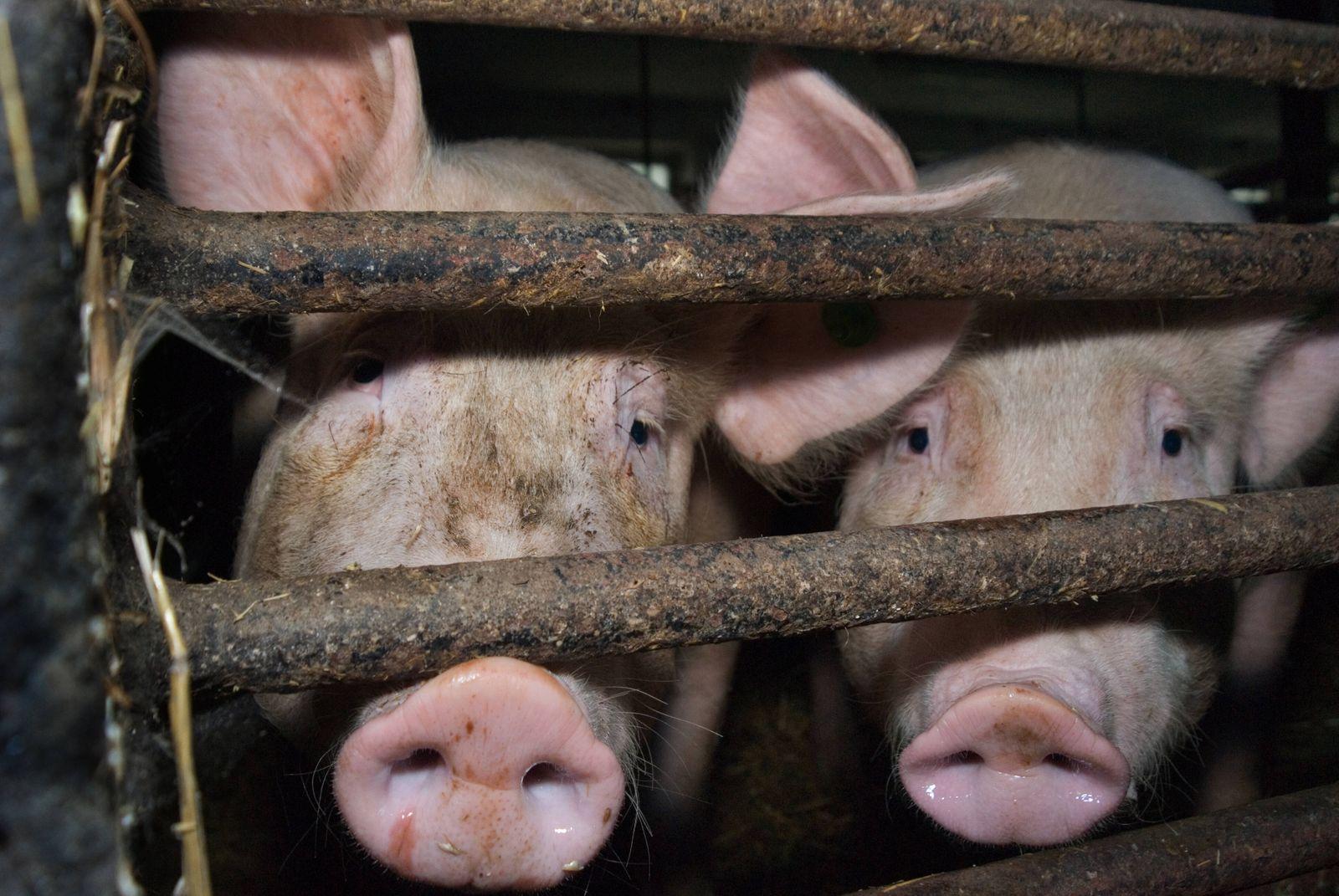 Fotos aus einer deutschen Schweinemast. Schweine *** Photos from a German pig farm Pigs