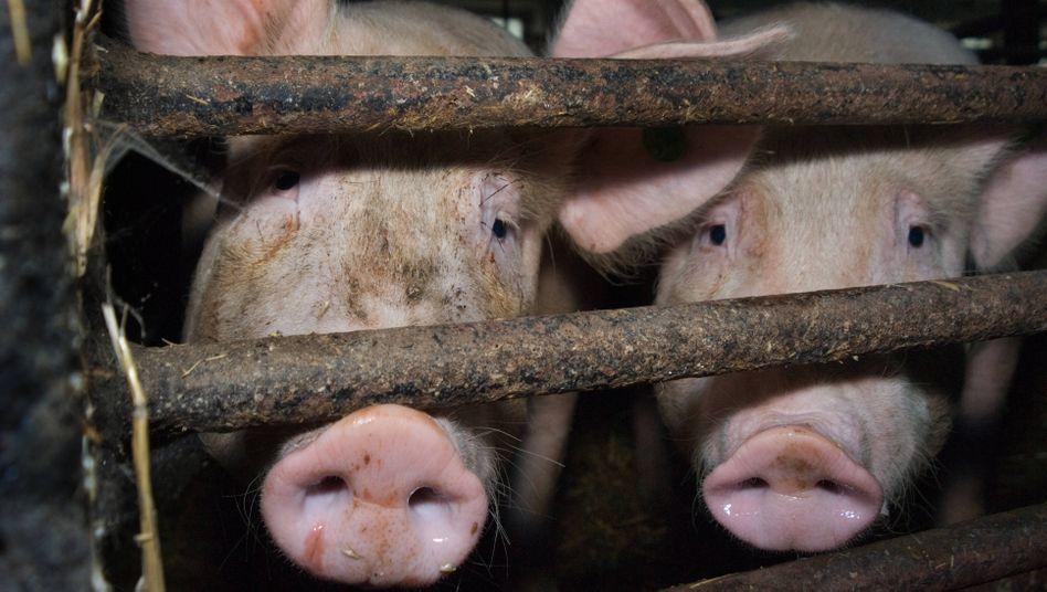 Schweinemast: