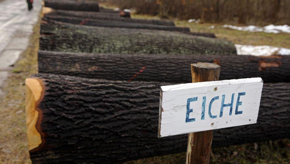 Eichenstämme: Bäume werden von Schädlingen bedroht