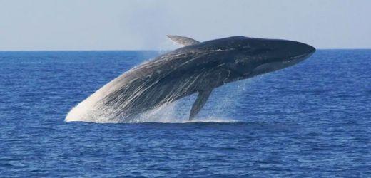 Gestrandeter Finnwal bei Neapel: Gefährdete Giganten