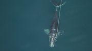Die Wale schrumpfen