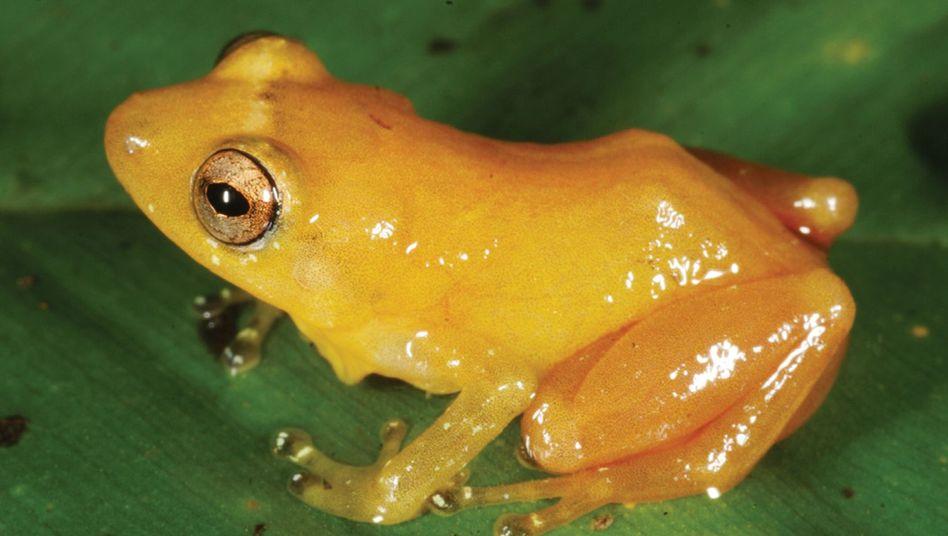 Nicht farbecht: Der Frosch Diasporus citrinobapheus