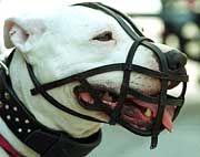 Maulkorb für alle: Pitbull