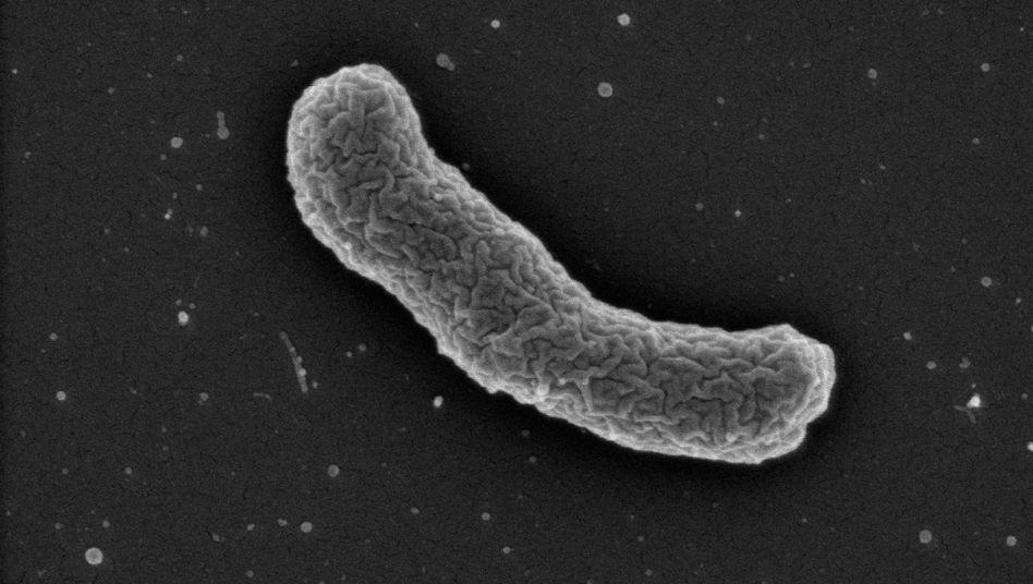 Eleftheria terrae unter dem Elektronenmikroskop: Das Bodenbakterium stellt eine neue Form von Antibiotika her