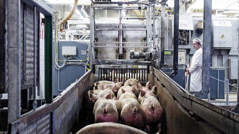 Mastschweine kurz vor der Betäubung im Tönnies-Schlachthof Rheda-Wiedenbrück