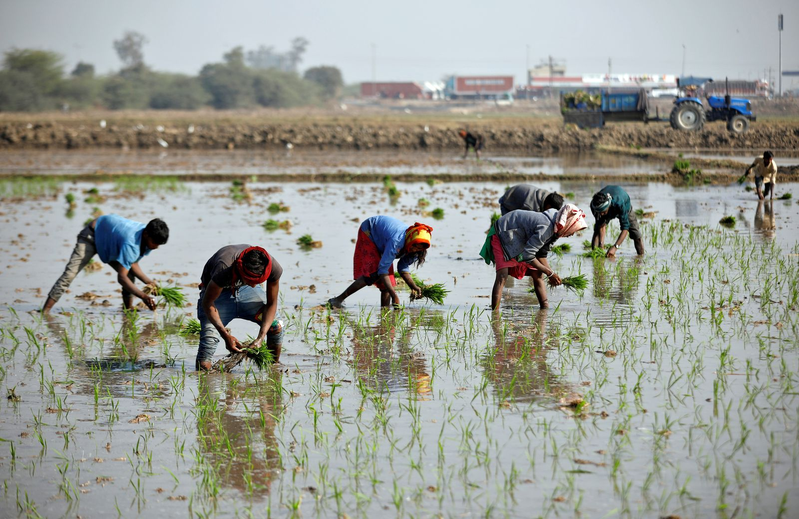 Farmers plant saplings in a paddy field on the outskirts of Ahmedabad