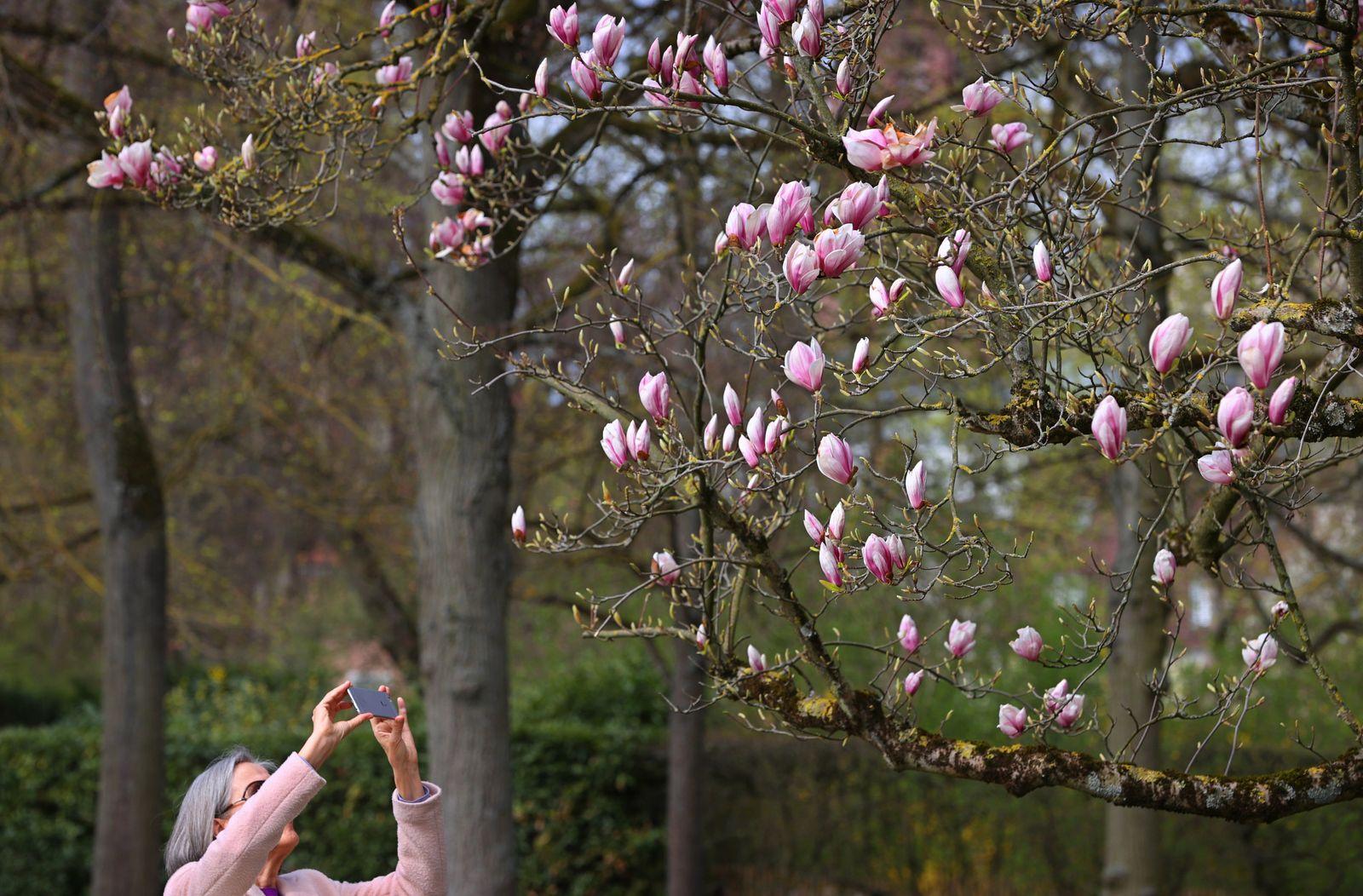 Blühende Magnolien im Hofgarten