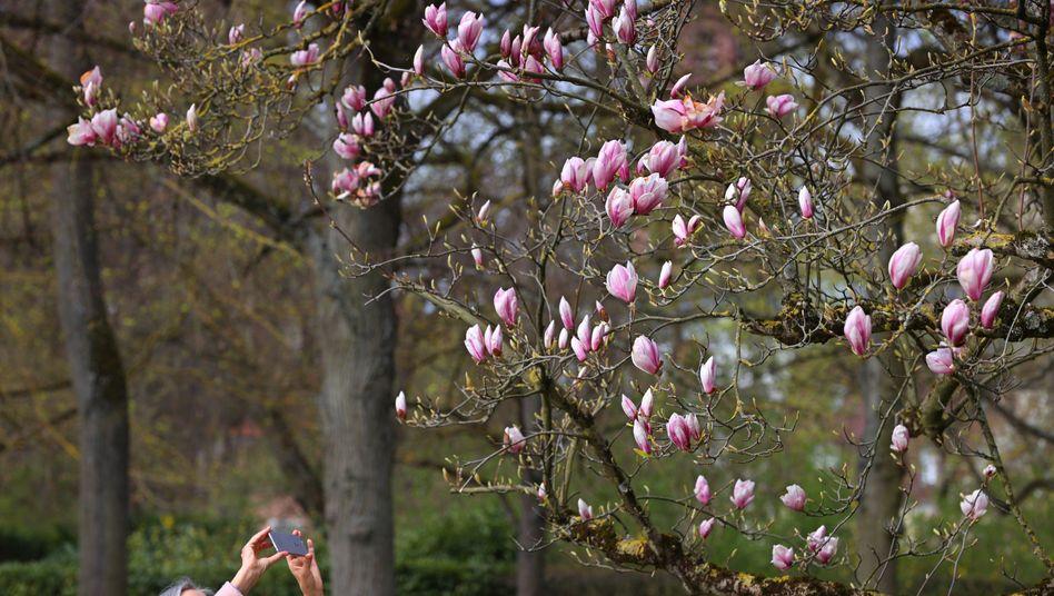 Frostempfindlich: Magnolie im Würzburger Hofgarten (Archivbild)