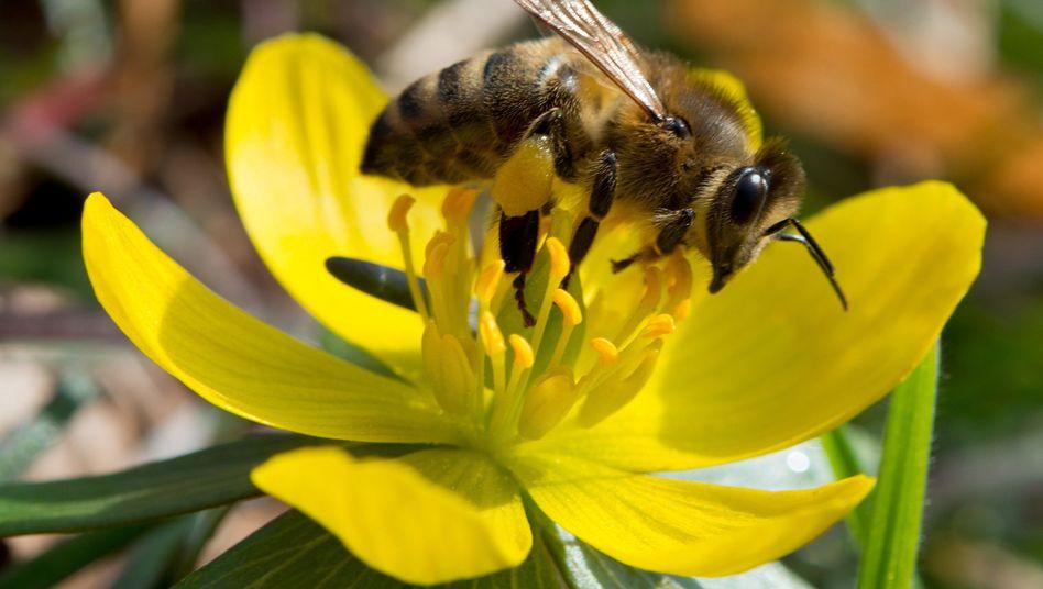 Biene beim Sammeln von Blütenpollen: Durch Pestizide gefährdet