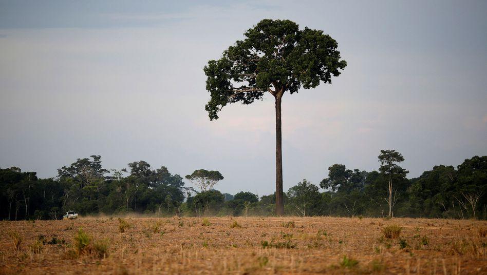 Brasilianisches Farmland im Amazonasgebiet: Schnelle Veränderung der Ökosysteme möglich
