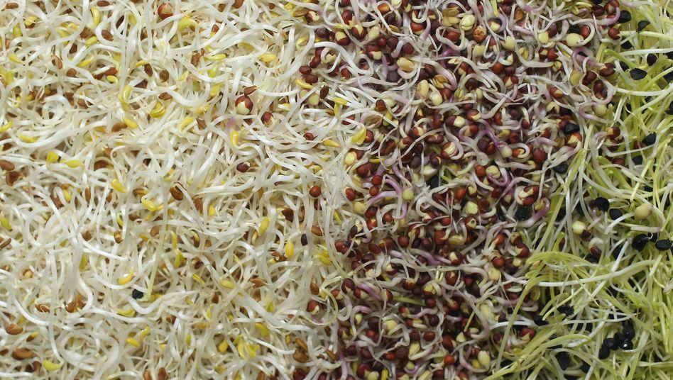 Gemüsesprossen (Archivbild): neue Analyse untermauert erste Ergebnisse