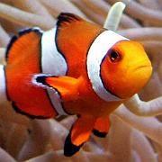 Clownfisch: Versauerung der Meere erschwert die Orientierung im Wasser