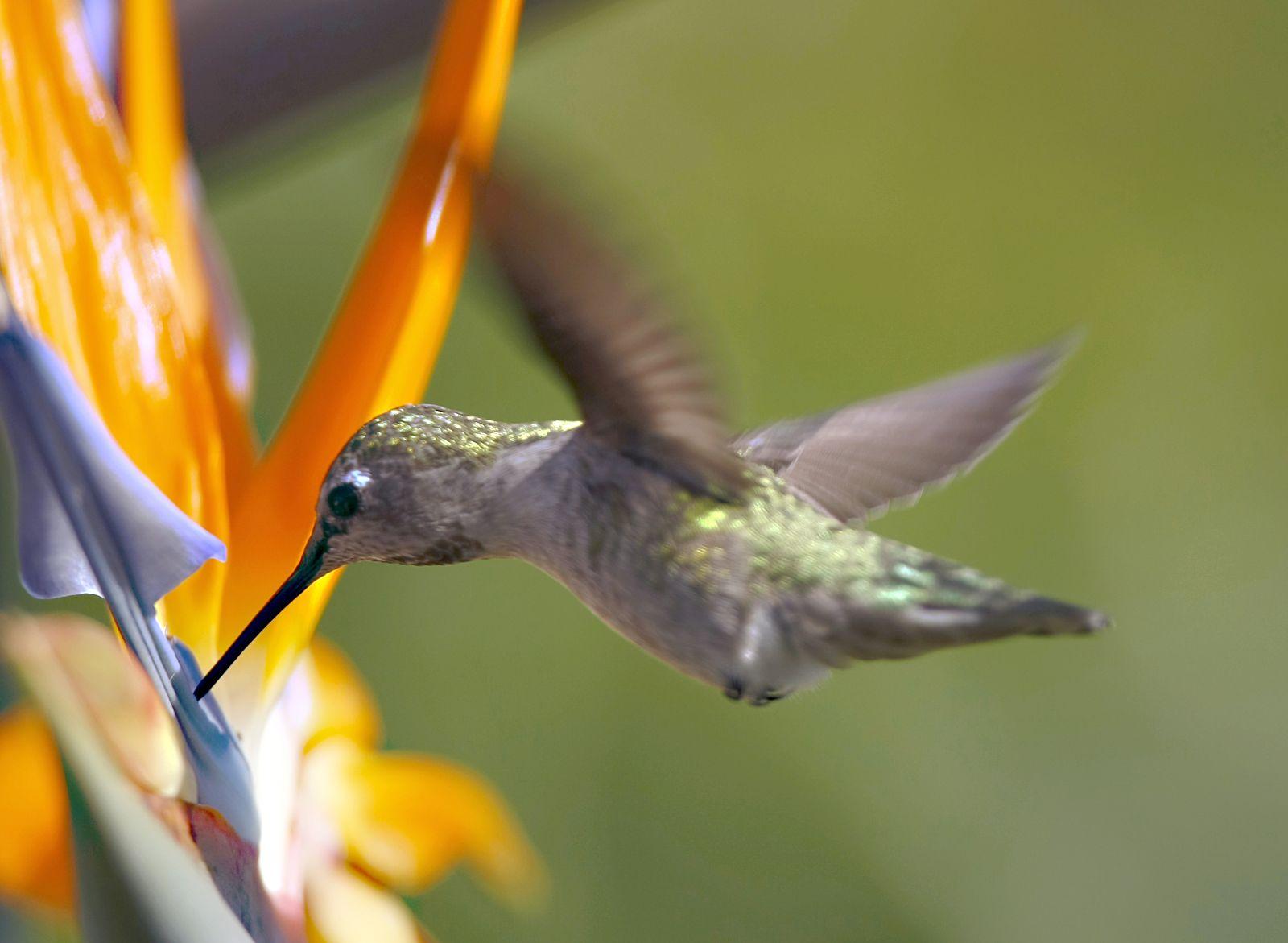Annakolibri / Kolibri