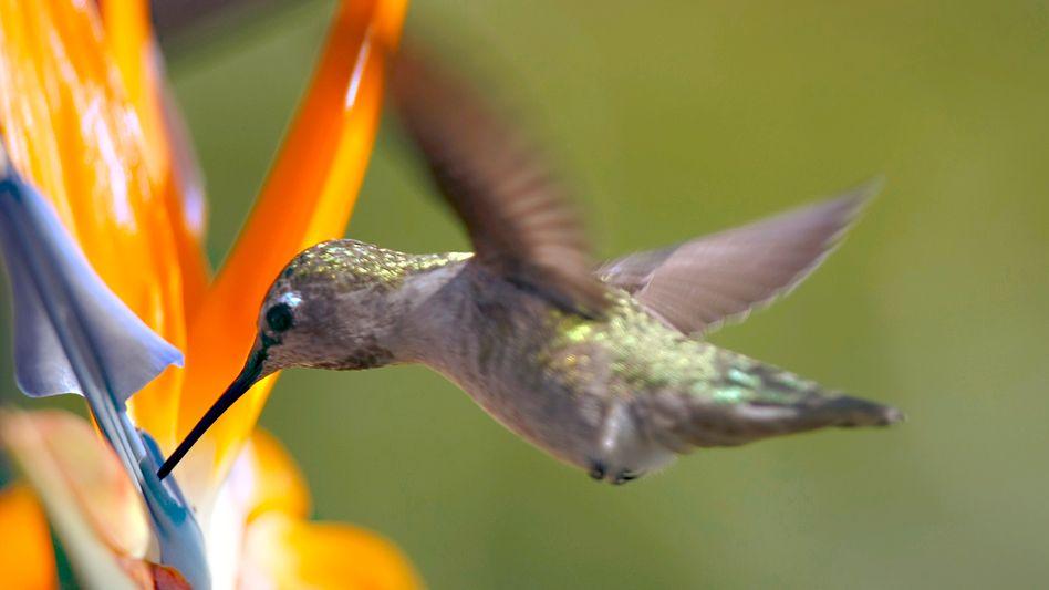 Annakolibri an Paradiesvogelblume: Kleiner Teil einer großen Familie