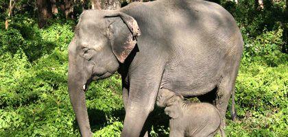 Indischer Elefant mit Jungtier: Seine Anatomie macht die Einpflanzung eines Mammut-Embryos schwierig