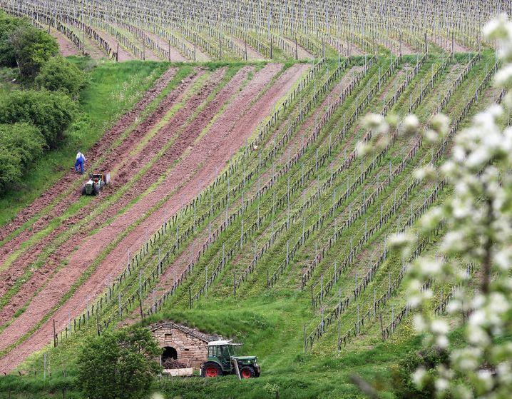 Weinbau in Sachsen-Anhalt