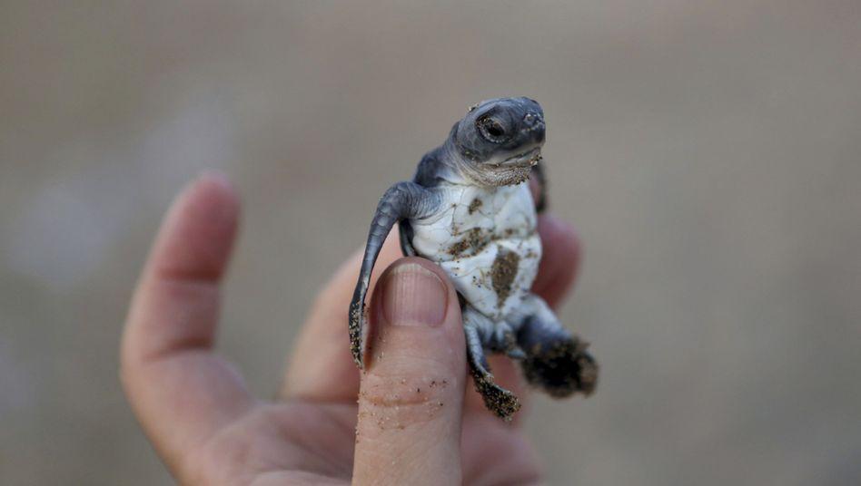 Junge Meeresschildkröte (Archivbild)