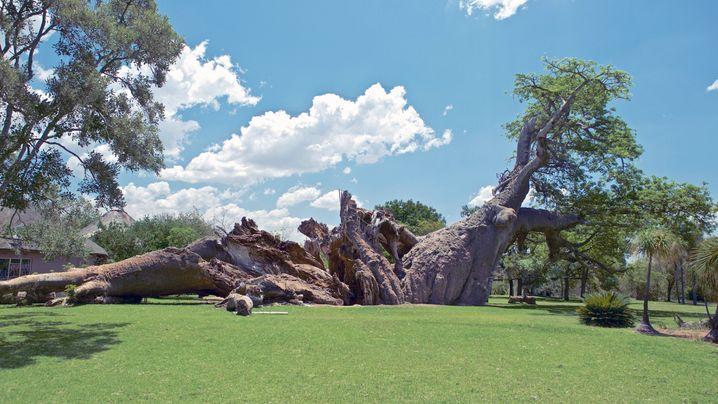 Affenbrotbäume: Tote Giganten