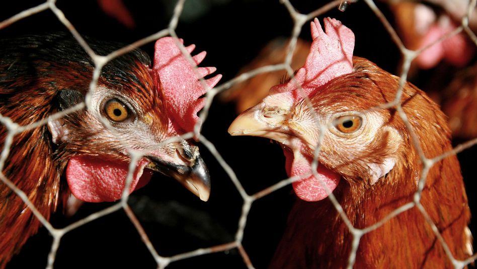 Hühner auf einem Geflügelhof