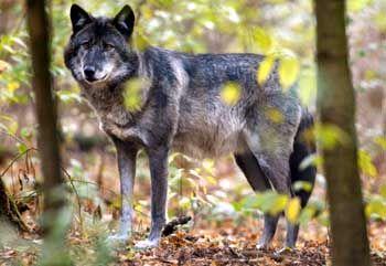 Der Schatten diesen Wolfs ist überall!