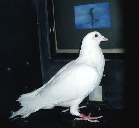 Taube: Links oder rechts auf eine Taste picken - je nachdem, an welche Markierung sich das Tier bei einem Foto erinnert